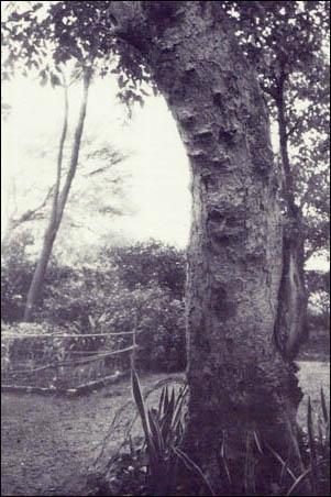 Baba's image on Umar tree